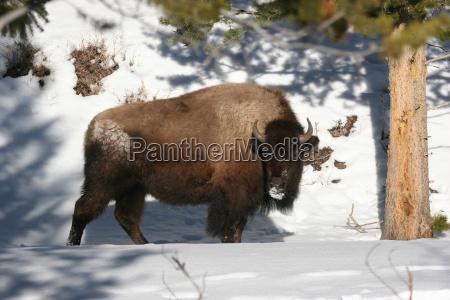 bizon, zimą - 23790442