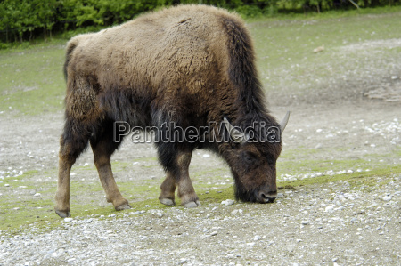 fodder animal mammal fauna animals horn