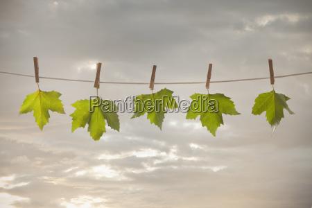 green leaves hanging on clothesline