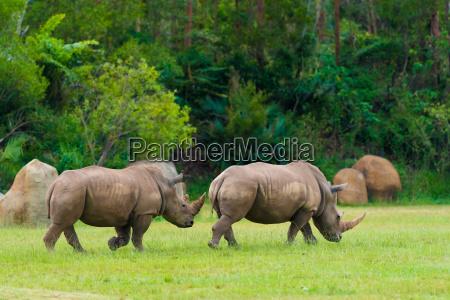 poludniowa nosorozec bialy zagrozone zwierzeta afrykanskie