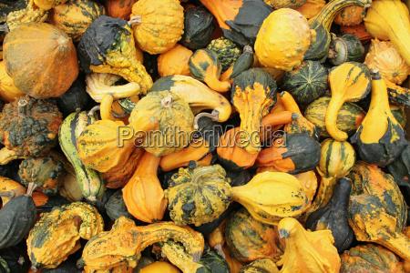 kolorowe kolektora kolor zolty warzywo dynie