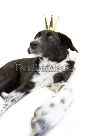 mongrel dog with golden crown on