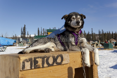 sled dog metoo with harness and