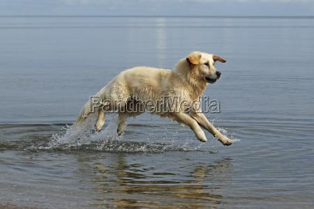 golden retriever canis lupus familiaris two