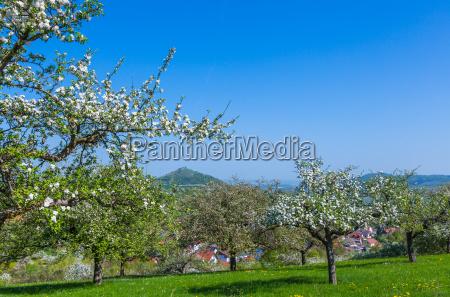 drzewa rozkwitac kwitnienie kwiaty bluetenpracht rozwin
