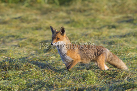 red fox vulpes vulpes watching and