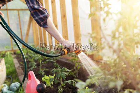podlewanie sadzenia pomidorow roslin w szklarni