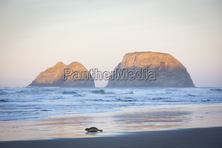 seal on beach at sunrise netarts