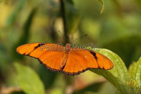 owad motyl rozpietosc