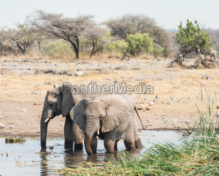two elephants standing in the water