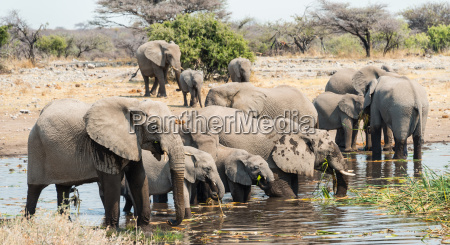 elephant herd stands for drinking in