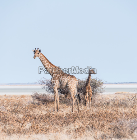 giraffe with baby between dry bushes