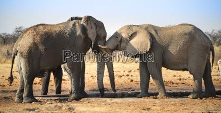 dwa slonie zartobliwie walcza ze soba