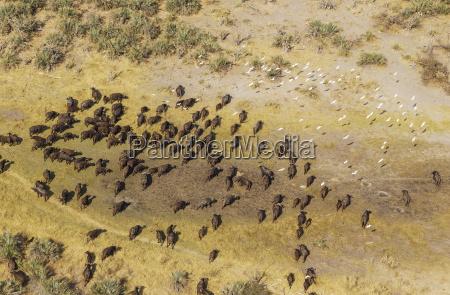 cape buffalo syncerus caffer caffer roaming