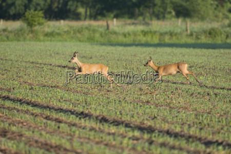 jelen capreolus capreolus dwa mlode jelenie