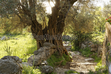 old olive tree on the way