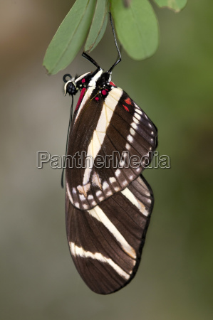 tropical butterfly zebra butterfly heliconius charithonia