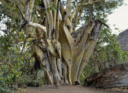drzewo drzewa ameykanski trunk kufer kuferek