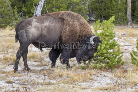 male american bison bison bison scratching