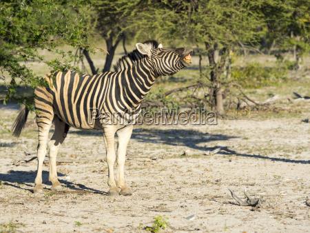 burchell zebra equus burchelli young ongaya