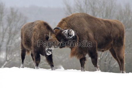 european bisons bison bonasus european bison