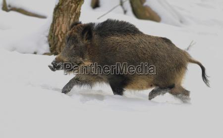 wild boar sus scrofa wild boar