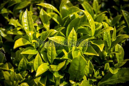 herbata lisc jazda podrozowanie rolnictwo makro