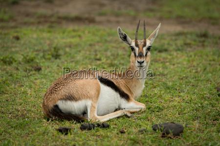 thomson gazelle lying on grass facing