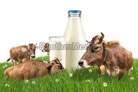 cows with milk bottle on meadow