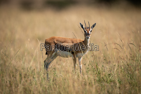 thomson gazelle standing in grass faces