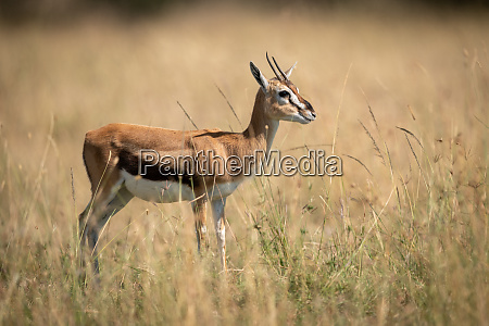 thomson gazelle stands in grass in