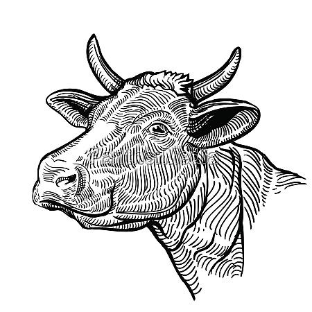 glowa krowy w stylu graficznym vintage