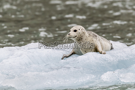 harbor seal phoca vitulina pup on