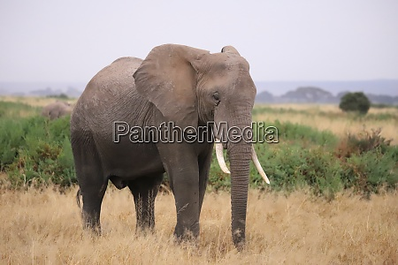 close up of an elephant in