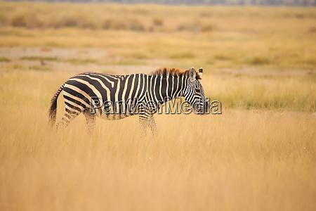 zebra in the grassland of amboseli