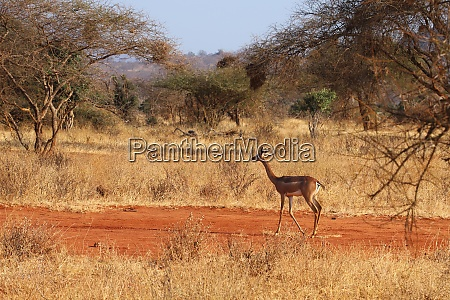 a female gerenuk in the wild