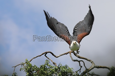 african sea eagle in flight