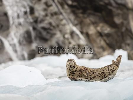 adult harbour seal phoca vitulina hauled