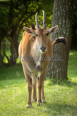 common eland stands near tree watching