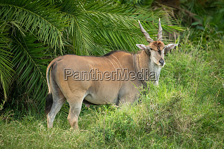 common eland stands by palm watching