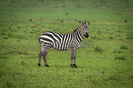plains zebra stands in grass watching