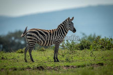 plains zebra stands on horizon watching