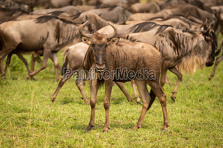 muddy young blue wildebeest stands watching