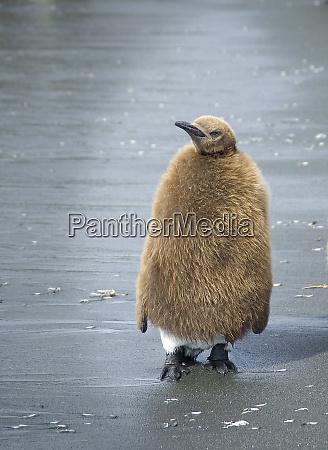 antarctica south georgia island juvenile king