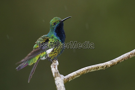 black throated mango hummingbird