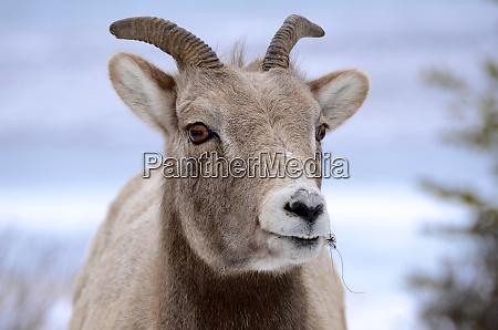 rocky mountain bighorn sheep in jasper
