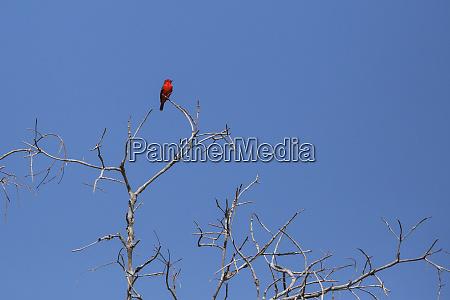 black necked red cotinga phoenicircus nigricollis