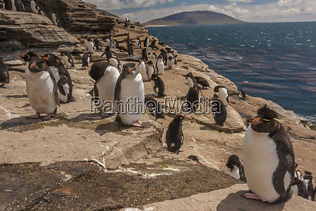 falkland islands saunders island rockhopper penguins