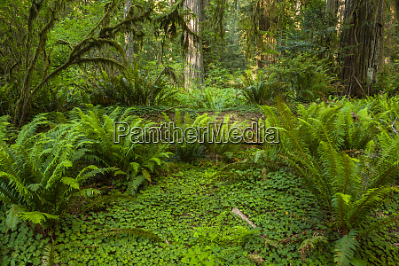 usa california redwoods national park ferns