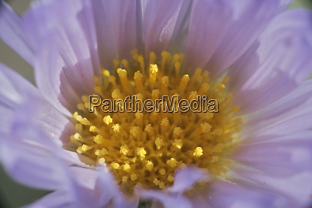 usa california mojave desert aster flower